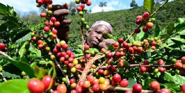 tanzania-coffee